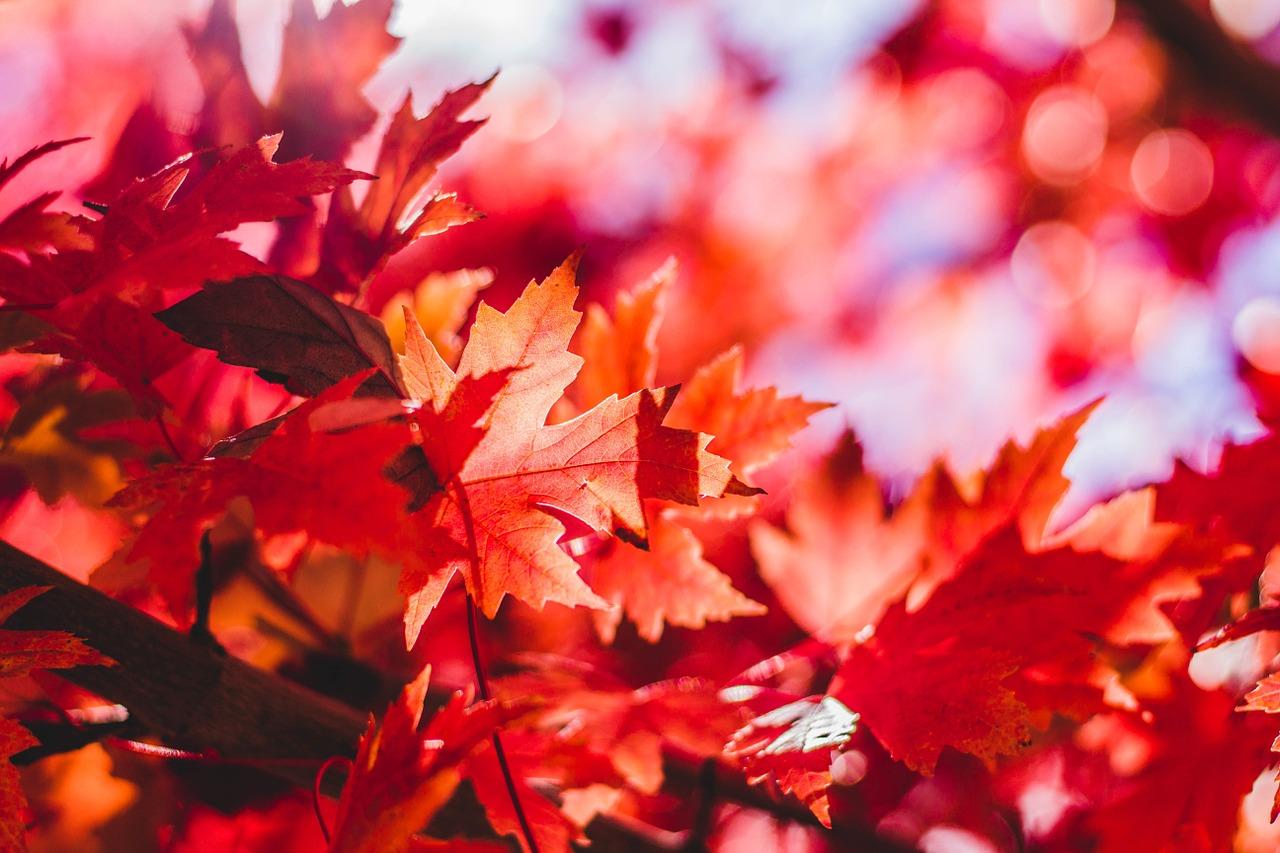 maple-leaf-1209695_1280